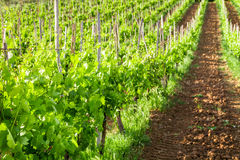 Fields of grapes in the summer, Tuscany Stock Photos