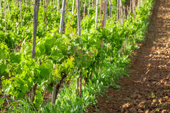 Fields of grapes in the summer, Tuscany Royalty Free Stock Photography