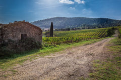 Fields of grapes in the summer, Tuscany Royalty Free Stock Photos