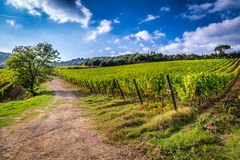 Fields of grapes in Tuscany Stock Photography