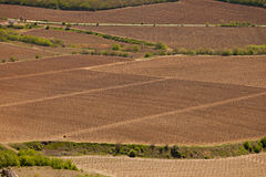 Fields with grapevine Stock Image
