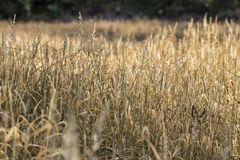Fields of grass brown. Were sprayed with herbicides Royalty Free Stock Photography