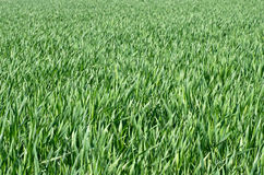 Fields of Grass Royalty Free Stock Images