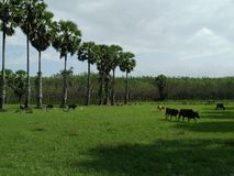 Fields grass green. Green Fields Prairie rural areas for wider use as a cattle farm animals surrounded by natural causes the sky near a palm tree beside the Royalty Free Stock Photos