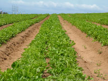 Fields of Green. Agricultural fields of green stock images