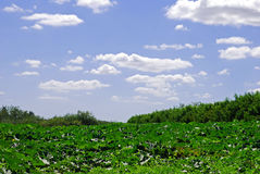 Fields of Green and Blue Stock Image
