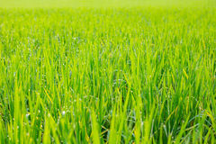 Fields of green. Early summer in thailand Stock Image