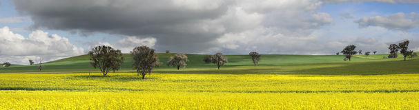 Fields of Green and Gold. Fields of golden canola and wheat undersown with lucerne.   These canola crops are in the top 1-2% grown in Australia due to their high Royalty Free Stock Photos