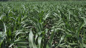 Fields of green unripe maize plants before being treated with herbicides and fertilizers to obtain a large crop 4k. Fields of green unripe maize plants before stock video