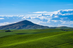 Fields of green wheat in Eastern Washington state Royalty Free Stock Images