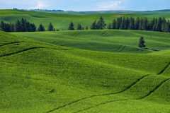 Fields of green wheat in Eastern Washington state Stock Photos