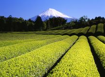 fields grön tea vii Royaltyfria Bilder