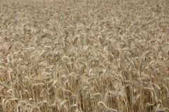 fields guld- Fotografering för Bildbyråer