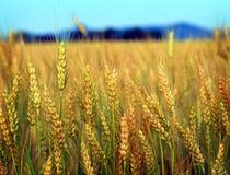 fields guld Royaltyfria Bilder