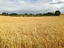 fields guld- Arkivfoton