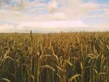 fields guld- Royaltyfria Bilder