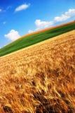 fields guld- vete royaltyfria bilder