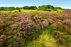 Fields of heather. In Scotland Royalty Free Stock Photo