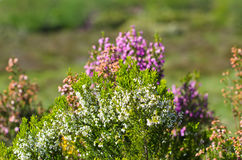 Fields of heather Royalty Free Stock Images