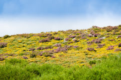 Fields of heather Royalty Free Stock Photography