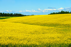 Hills of canola in bloom Royalty Free Stock Photos