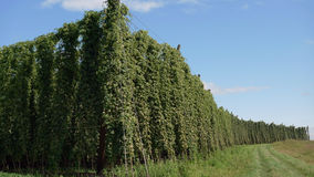 Fields of Hops. Field of Hops in the world's largest area of hops agriculture in Holledau, Bavaria, Germany stock photo