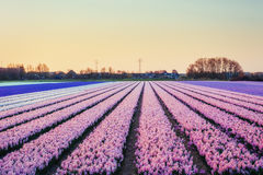 Fields hyacinths blooming flowers on the fantastic sunset. Beaut. Iful outdoor scenery in the Netherlands, Europe Stock Image