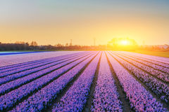 Fields hyacinths blooming flowers on the fantastic sunset. Beaut Stock Photo