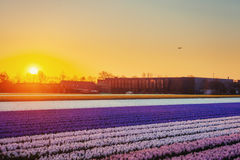 Fields hyacinths blooming flowers on the fantastic sunset. Beaut Royalty Free Stock Image