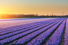 Fields hyacinths blooming flowers on the fantastic sunset. Beaut Royalty Free Stock Photography
