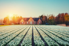 Fields hyacinths blooming flowers on the fantastic sunset. Beaut Stock Image
