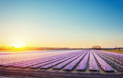 Fields hyacinths blooming flowers on the fantastic sunset. Beaut Royalty Free Stock Photo