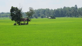 Fields. I kept a food crop farmers Beautiful green fields of crops Royalty Free Stock Image
