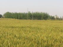fields indiskt vete Royaltyfri Bild