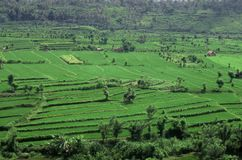 fields indonesia rice Arkivbild