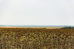 Agricultural summer field. Fields with an infinite ripe sunflower. summer time Royalty Free Stock Photography