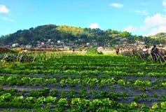 fields jordgubben Arkivbilder
