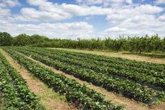 fields jordgubben Royaltyfri Bild