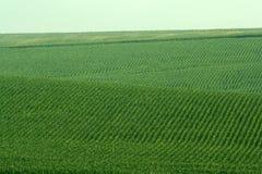 fields kullar som rullar soybeanen Royaltyfri Bild