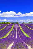 Fields of lavander in Provance, France Royalty Free Stock Image