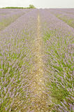 Fields of Lavendar Royalty Free Stock Photography