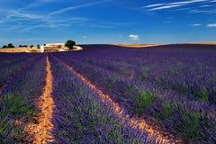fields lavendel Fotografering för Bildbyråer
