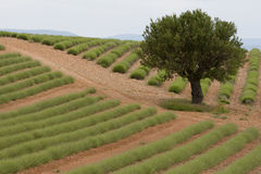 fields lavendel Royaltyfria Bilder
