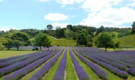 fields lavendel arkivfoton