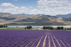 Fields of Lavender. Under a blue sky with a lake and mountains in the background Royalty Free Stock Images