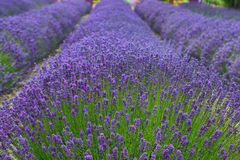Fields of lavender in Washington state Stock Image