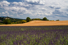 Fields of Lavender and Wheat Royalty Free Stock Photos