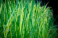 The fields are lush. Of rice growing up in the day ahead Stock Photo