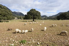 Fields in Mallorca. In this image we can a field in Mallorca, in `La Serra`, with some trees and sheep Royalty Free Stock Image