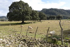 Fields in Mallorca. In this image we can a field in Mallorca, with some trees and sheep Royalty Free Stock Photos